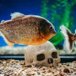 Best Carnivorous Fish Food
